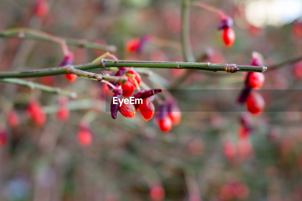 red, fruit, growth, focus on foreground, rose hip, tree, growing, nature, twig, outdoors, food and drink, day, branch, rowanberry, no people, beauty in nature, freshness, close-up