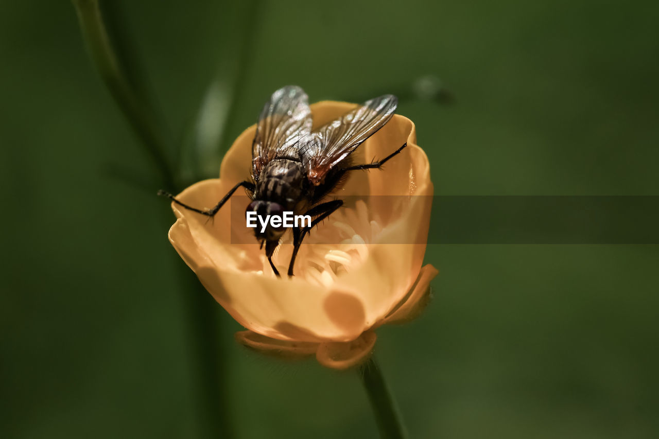 animal wildlife, animal, animal themes, insect, invertebrate, animals in the wild, one animal, close-up, flowering plant, flower, plant, beauty in nature, vulnerability, fragility, focus on foreground, petal, flower head, nature, no people, bee, pollination, animal wing