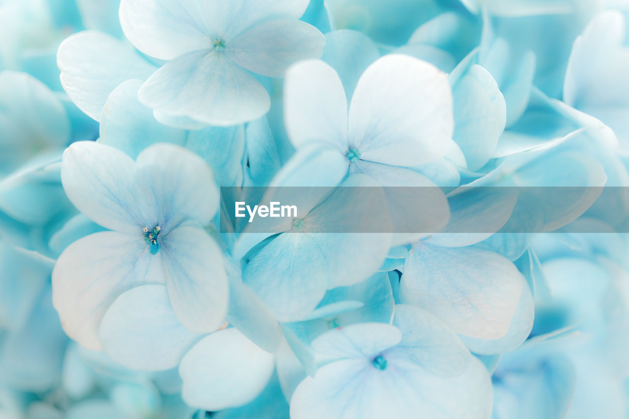 flower, close-up, flowering plant, no people, vulnerability, fragility, petal, beauty in nature, flower head, plant, inflorescence, freshness, white color, growth, full frame, day, nature, backgrounds, hydrangea, focus on foreground