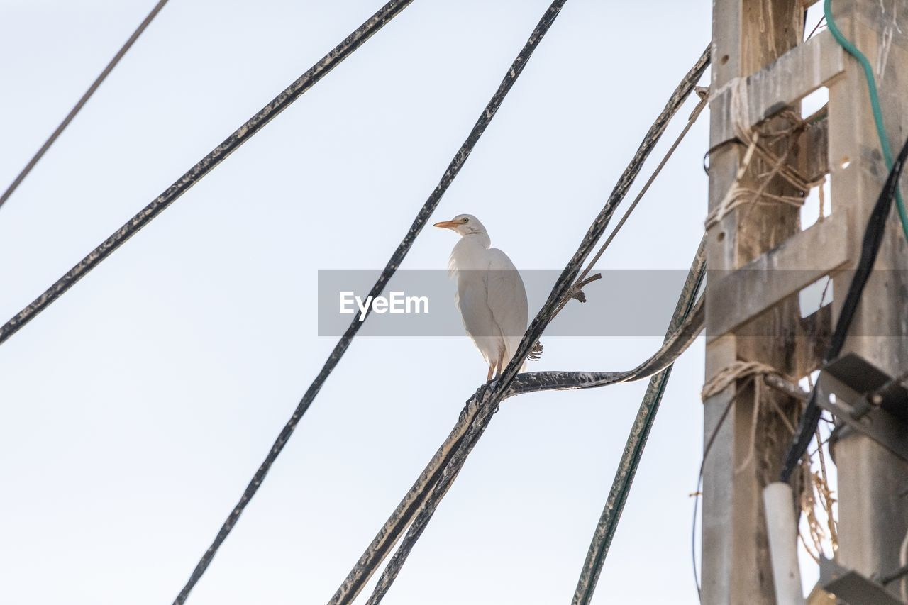 bird, perching, animal, vertebrate, animal wildlife, animal themes, animals in the wild, one animal, low angle view, no people, cable, day, branch, sky, nature, tree, clear sky, outdoors, electricity, power line, power supply