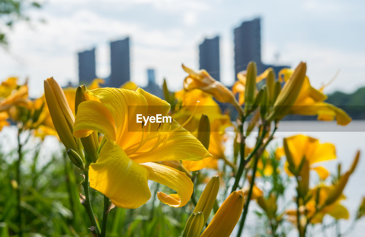 flower, yellow, petal, growth, plant, nature, fragility, focus on foreground, outdoors, flower head, beauty in nature, day, freshness, no people, built structure, architecture, blooming, building exterior, close-up, leaf, springtime, sky