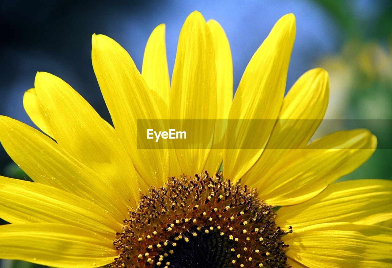 flower, petal, yellow, fragility, nature, flower head, beauty in nature, freshness, growth, pollen, plant, close-up, day, outdoors, blooming, no people, sunflower, gazania, springtime, stamen