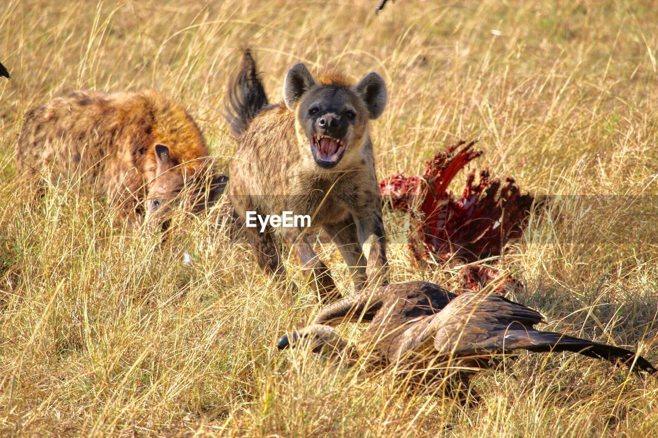 animal themes, animal, mammal, animals in the wild, animal wildlife, grass, group of animals, vertebrate, plant, no people, nature, day, two animals, safari, survival, anger, animals hunting, hunting, mouth open, outdoors, snarling, aggression