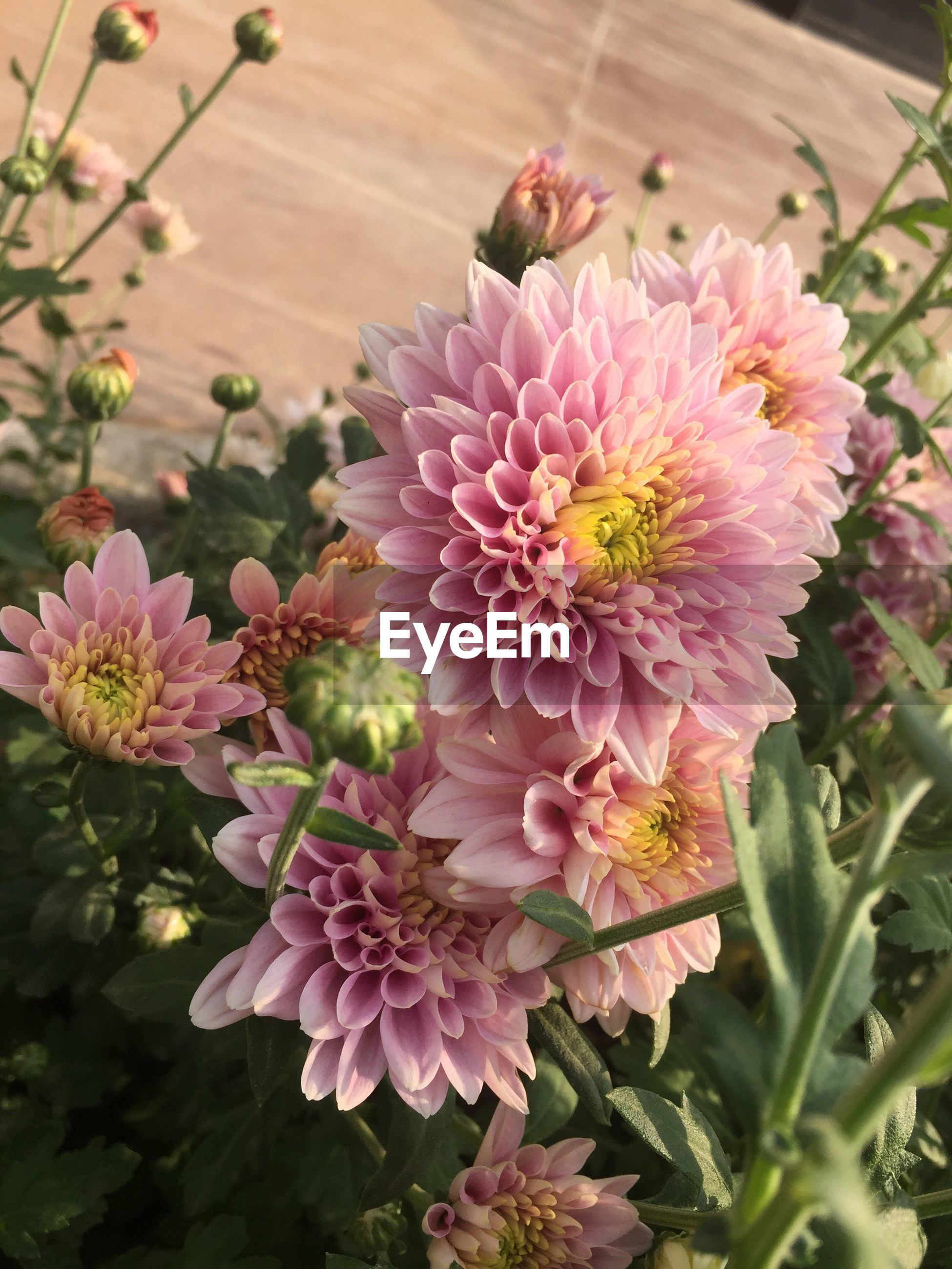 flower, nature, beauty in nature, fragility, petal, growth, freshness, pink color, flower head, no people, plant, blooming, outdoors, close-up, day, pollen