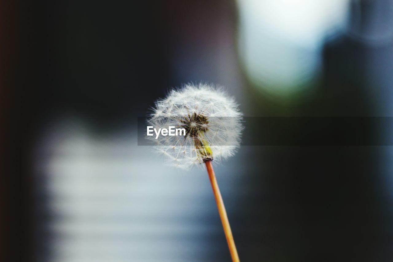 Close-Up Of Dandelion Against Blurred Background