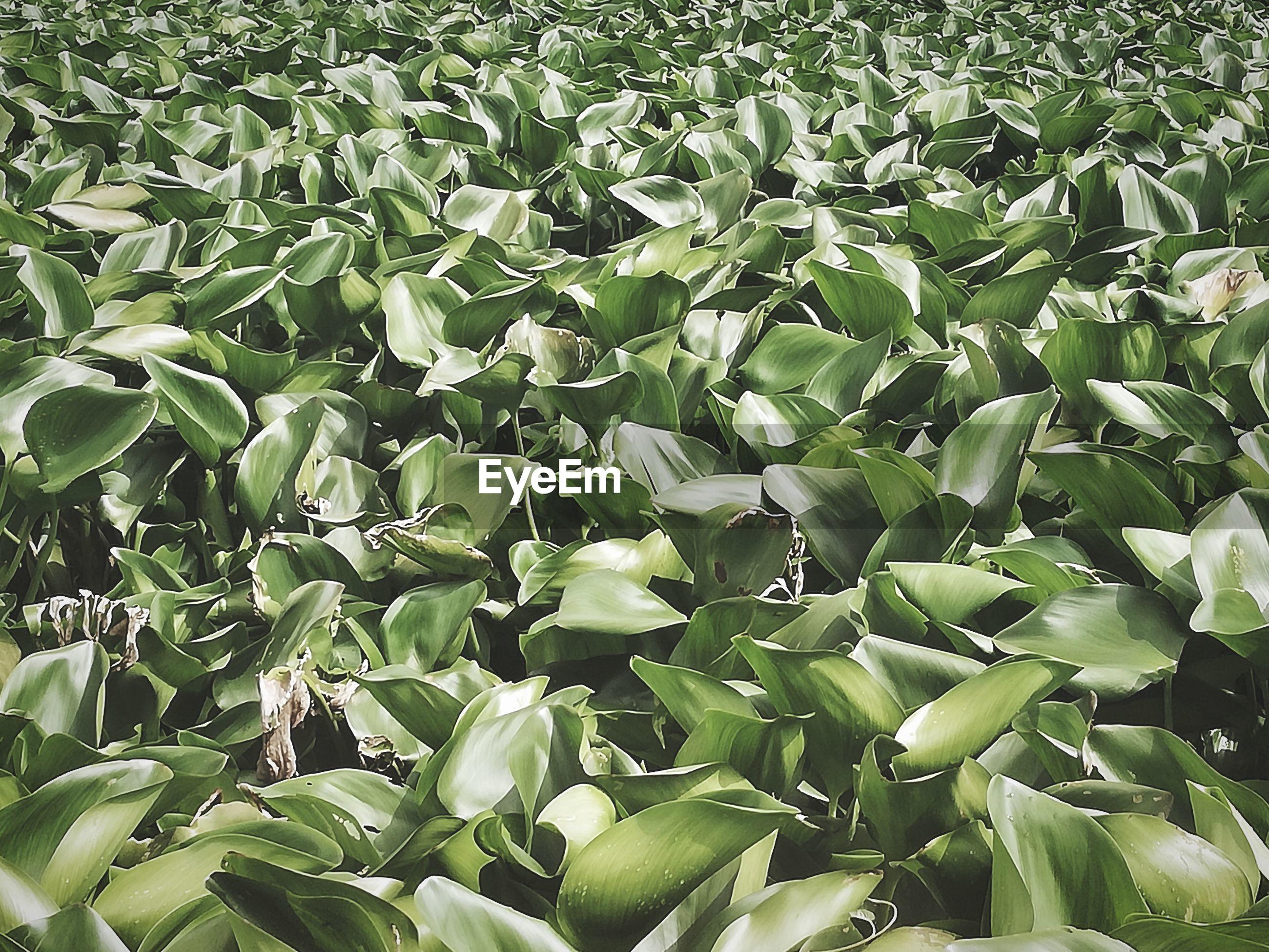 FULL FRAME SHOT OF PLANTS GROWING IN LAND