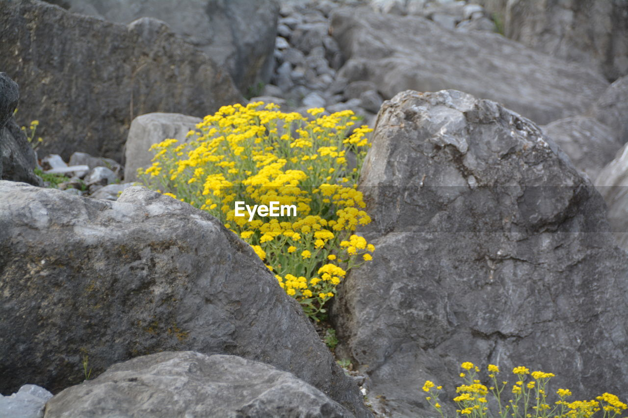 yellow, rock - object, flower, rock formation, nature, no people, outdoors, day, beauty in nature, fragility, close-up, flower head, freshness