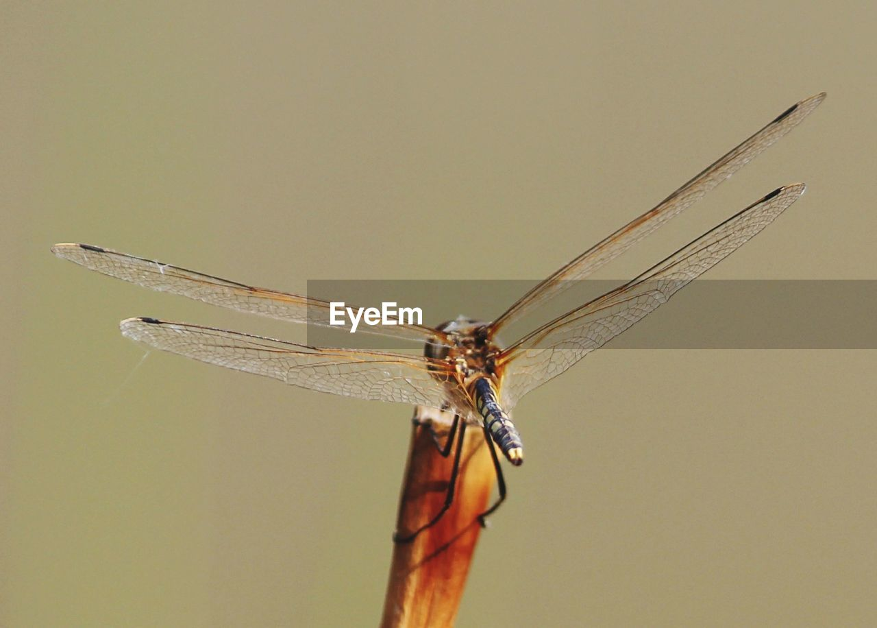 insect, animal wing, one animal, animal themes, animal wildlife, animal, invertebrate, animals in the wild, close-up, dragonfly, no people, nature, focus on foreground, day, outdoors, copy space, plant, beauty in nature, zoology