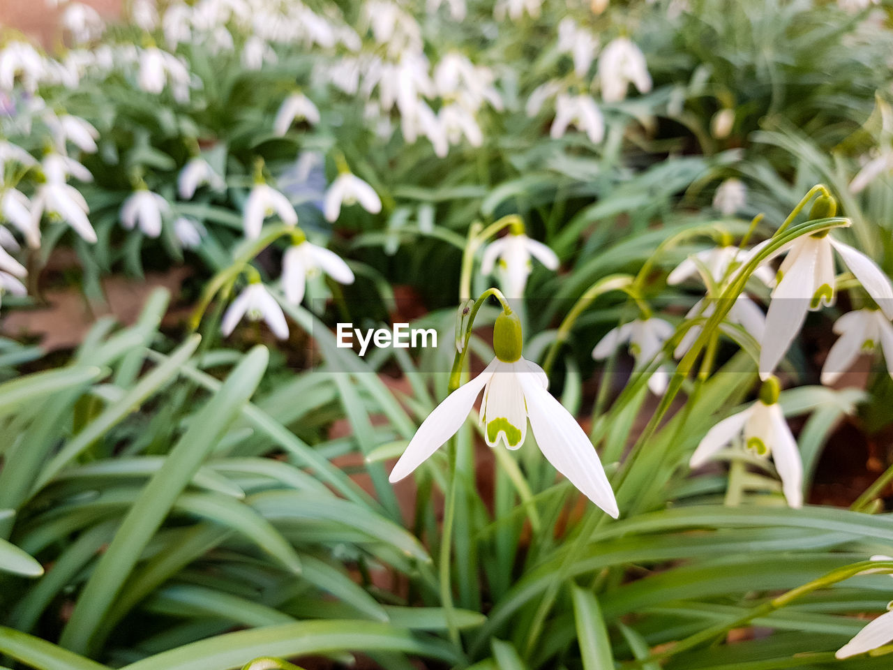 plant, growth, beauty in nature, flower, flowering plant, fragility, green color, freshness, vulnerability, white color, petal, close-up, inflorescence, flower head, nature, snowdrop, leaf, plant part, day, focus on foreground, no people, outdoors