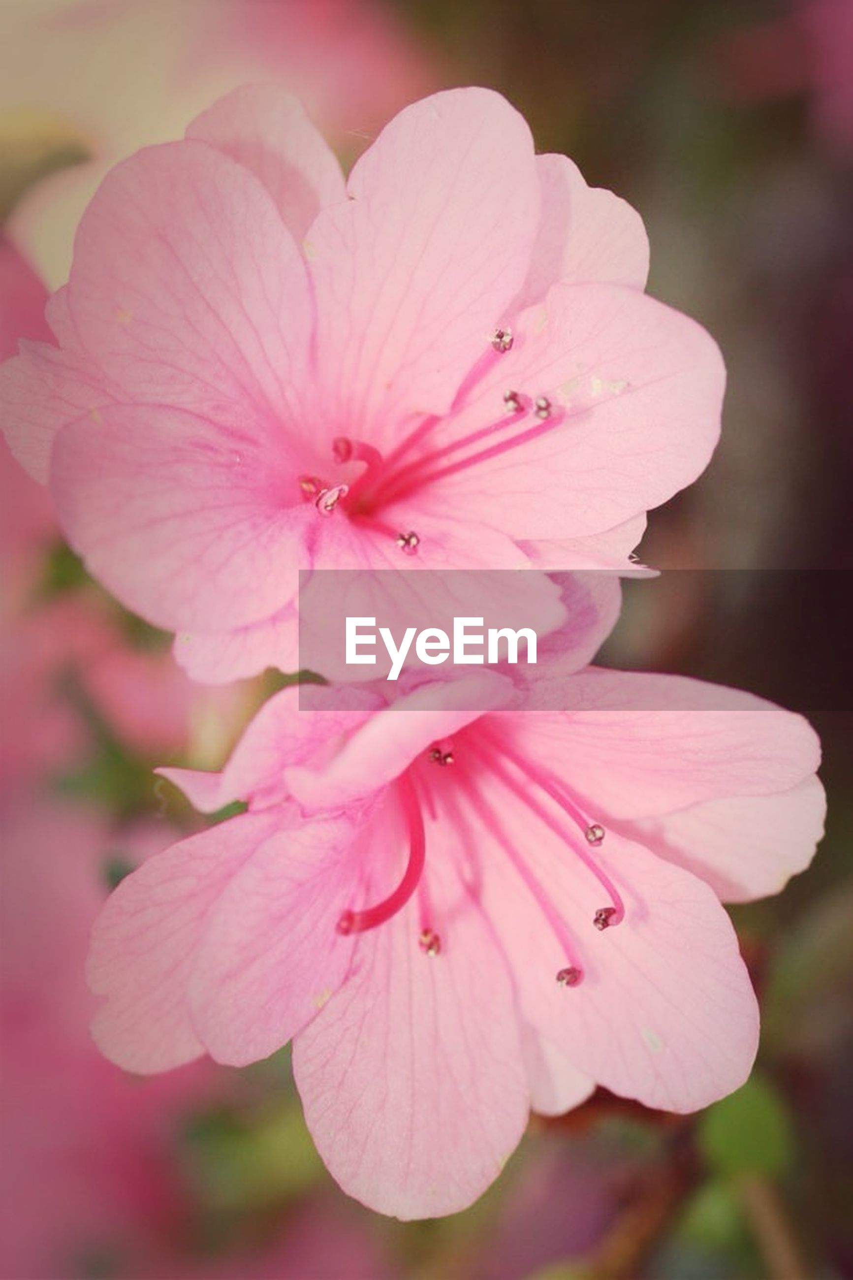 flower, petal, freshness, fragility, flower head, pink color, close-up, growth, beauty in nature, focus on foreground, stamen, nature, blooming, pollen, in bloom, blossom, pink, day, outdoors, plant