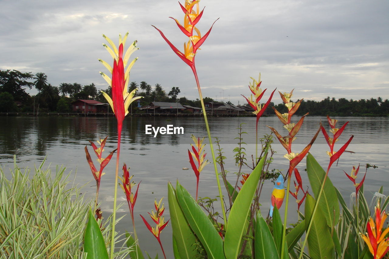 nature, growth, lake, beauty in nature, plant, water, no people, sky, tranquility, outdoors, cloud - sky, tree, scenics, day, bird of paradise - plant