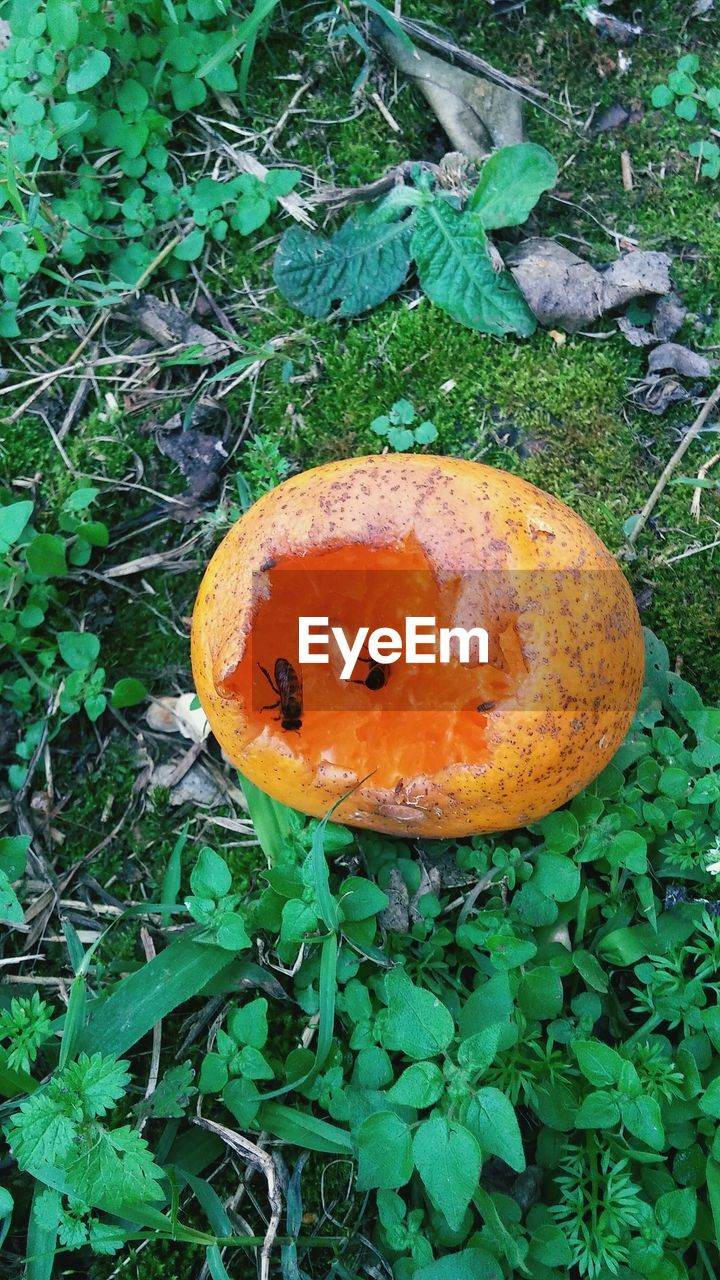 fruit, growth, leaf, nature, green color, food and drink, outdoors, rotten, no people, high angle view, day, plant, freshness, food, close-up, pumpkin, rotting, beauty in nature