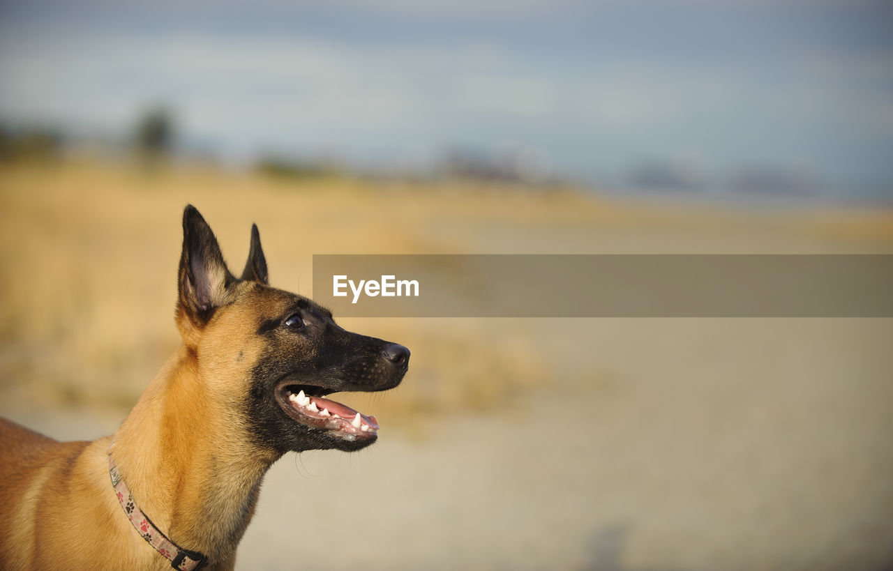 Side view of belgian malinois standing on field