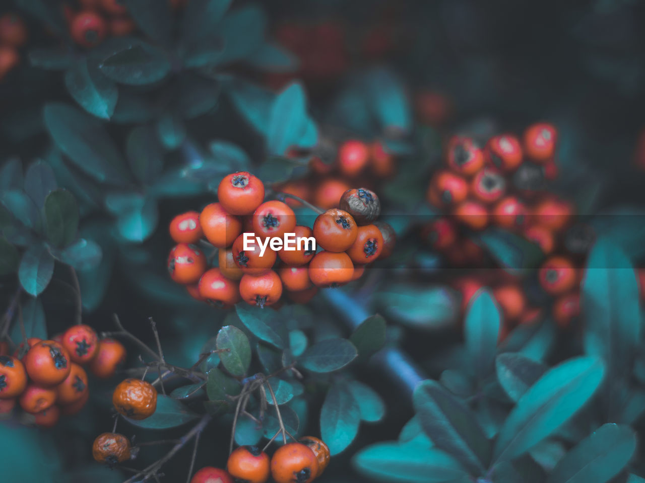 food, fruit, healthy eating, food and drink, wellbeing, berry fruit, no people, freshness, close-up, red, selective focus, day, abundance, plant part, leaf, still life, nature, large group of objects, growth, focus on foreground, rowanberry, ripe