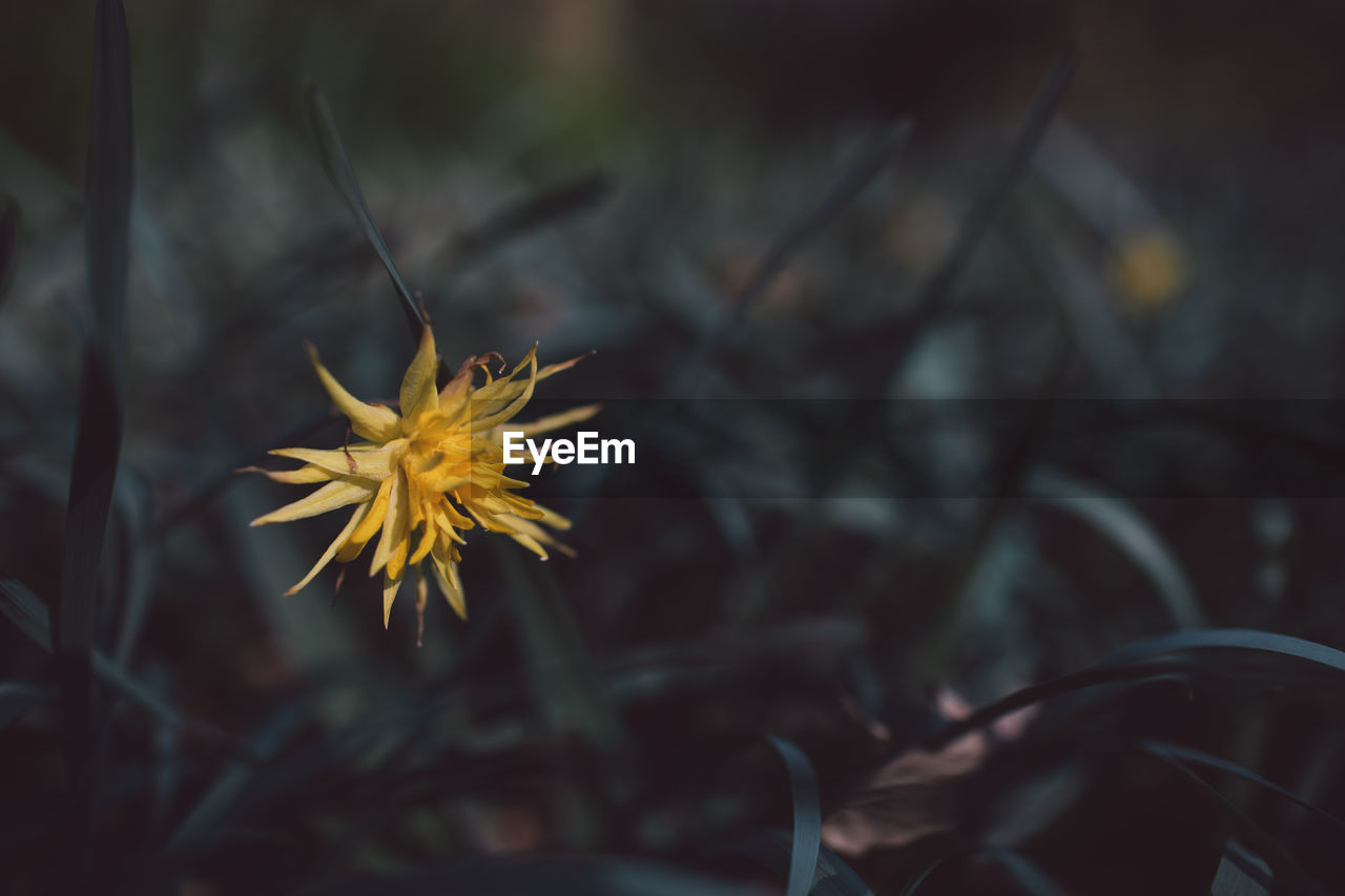 flower, plant, flowering plant, beauty in nature, fragility, yellow, growth, close-up, vulnerability, freshness, nature, petal, selective focus, focus on foreground, flower head, no people, inflorescence, outdoors, day, plant part, pollen