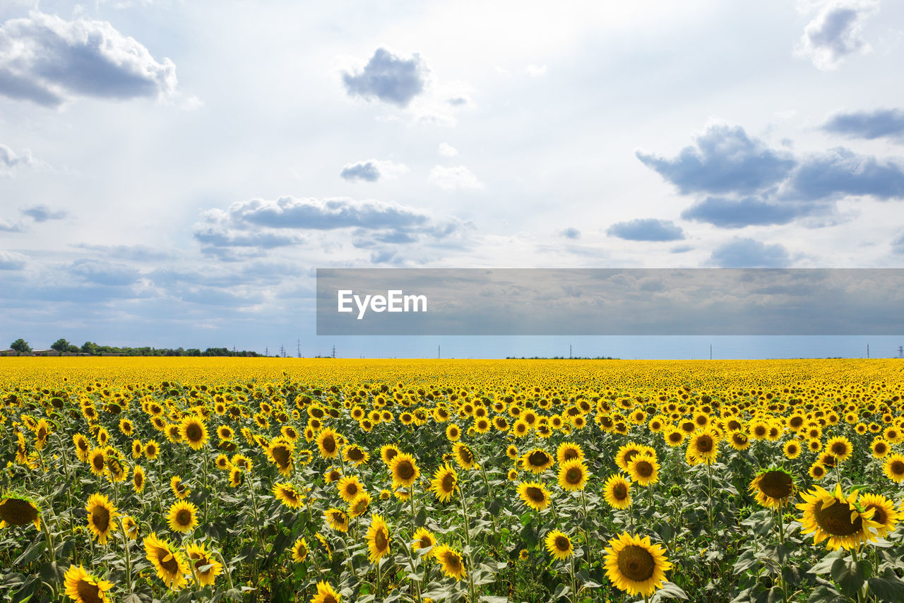 SCENIC VIEW OF YELLOW SUNFLOWER FIELD AGAINST SKY