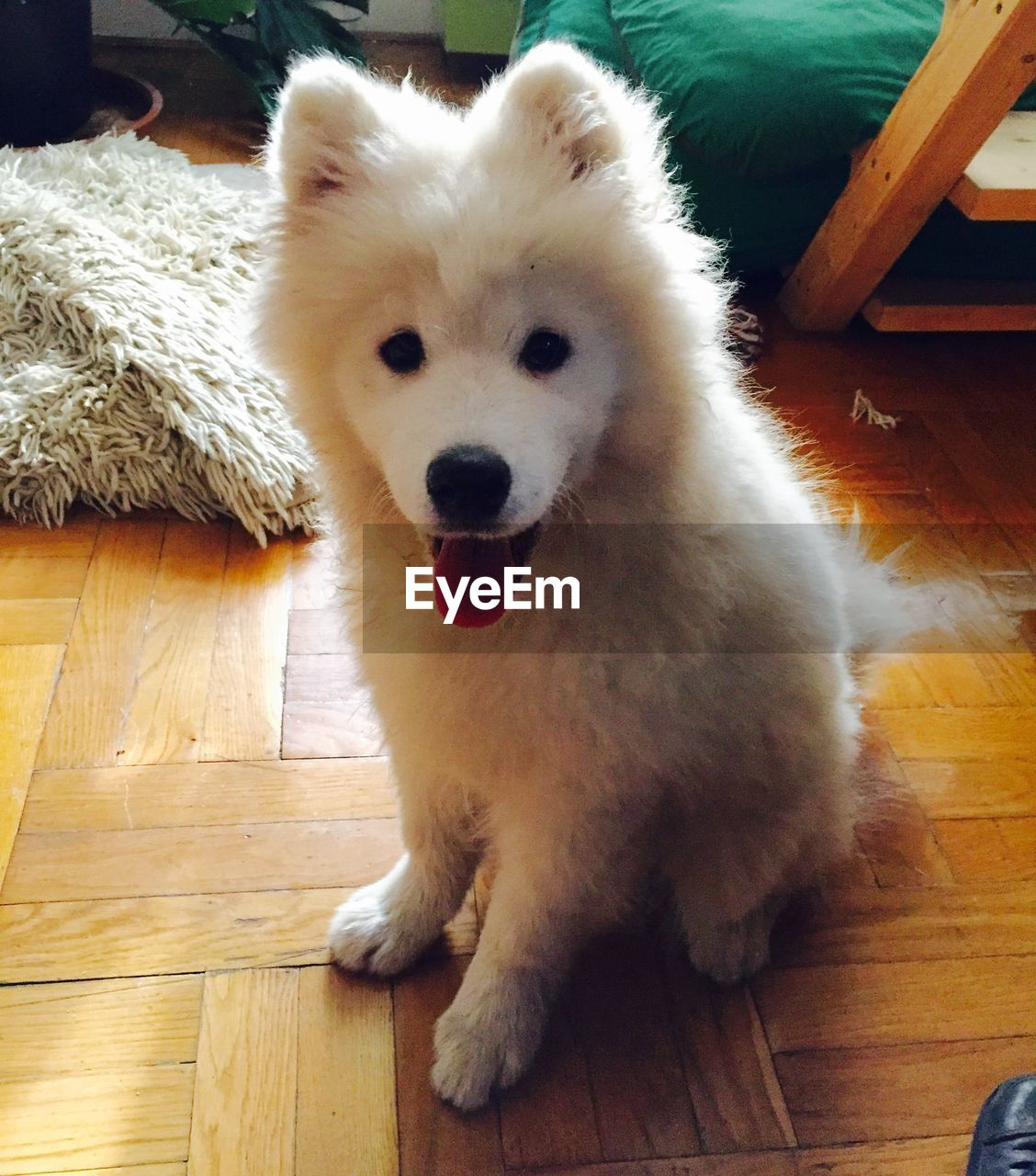 pets, dog, hardwood floor, domestic animals, one animal, mammal, animal themes, indoors, high angle view, looking at camera, portrait, wooden floor, pomeranian, lying down, sitting, cute, full length, puppy, no people, close-up, day