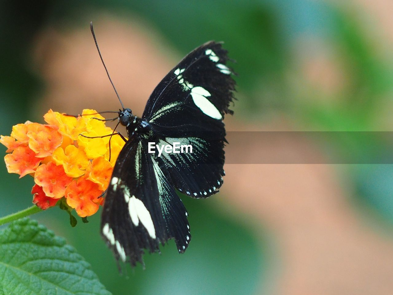 animal wildlife, invertebrate, animal themes, insect, one animal, animal wing, animal, beauty in nature, flower, animals in the wild, flowering plant, close-up, butterfly - insect, plant, flower head, petal, no people, focus on foreground, day, freshness, pollination, outdoors, butterfly