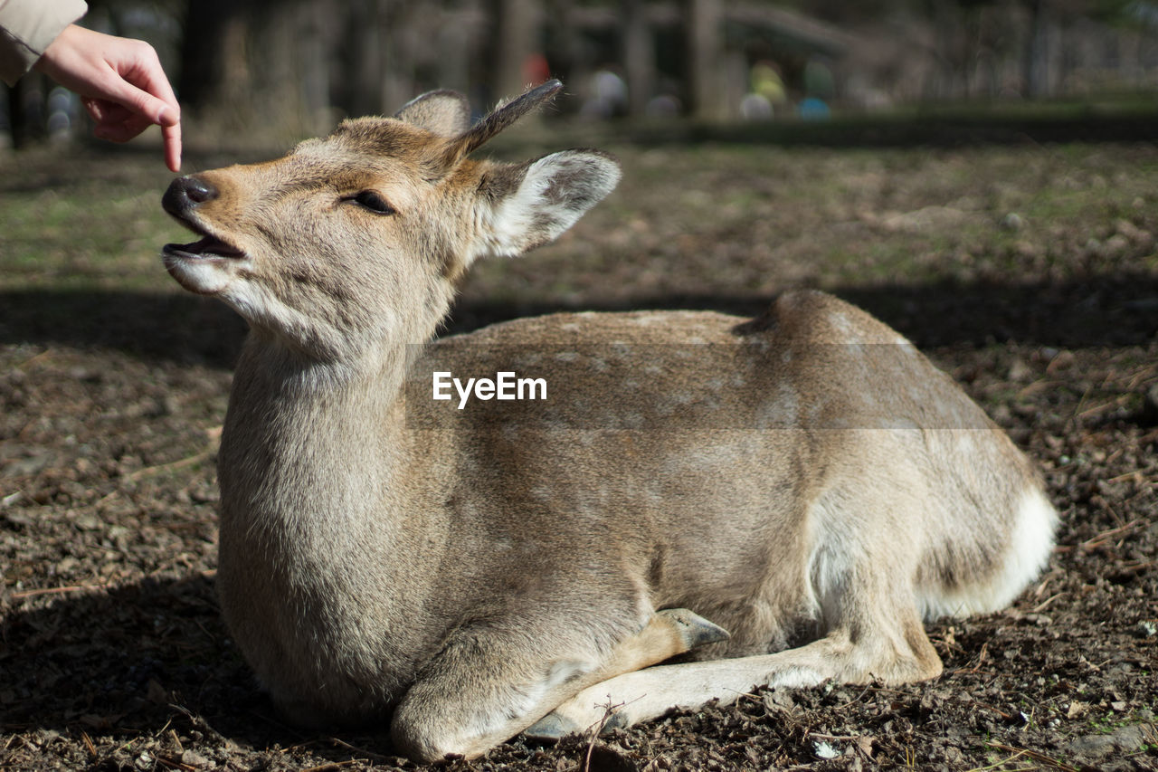 Cropped Image Of Hand Touching Deer Sitting On Field