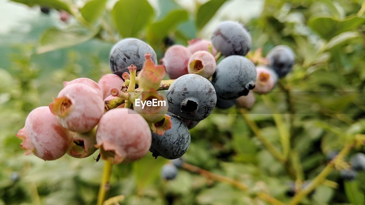 plant, fruit, growth, close-up, freshness, day, nature, focus on foreground, no people, healthy eating, beauty in nature, food, food and drink, berry fruit, blueberry, outdoors, beginnings, leaf, plant part, wellbeing, ripe