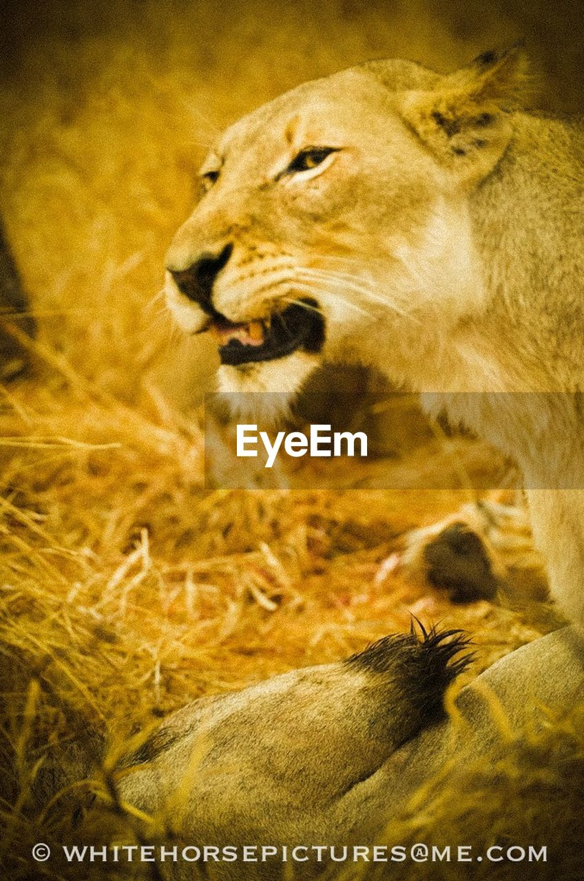 one animal, animals in the wild, animal themes, no people, lion - feline, animal wildlife, mammal, close-up, outdoors, day, grass, nature