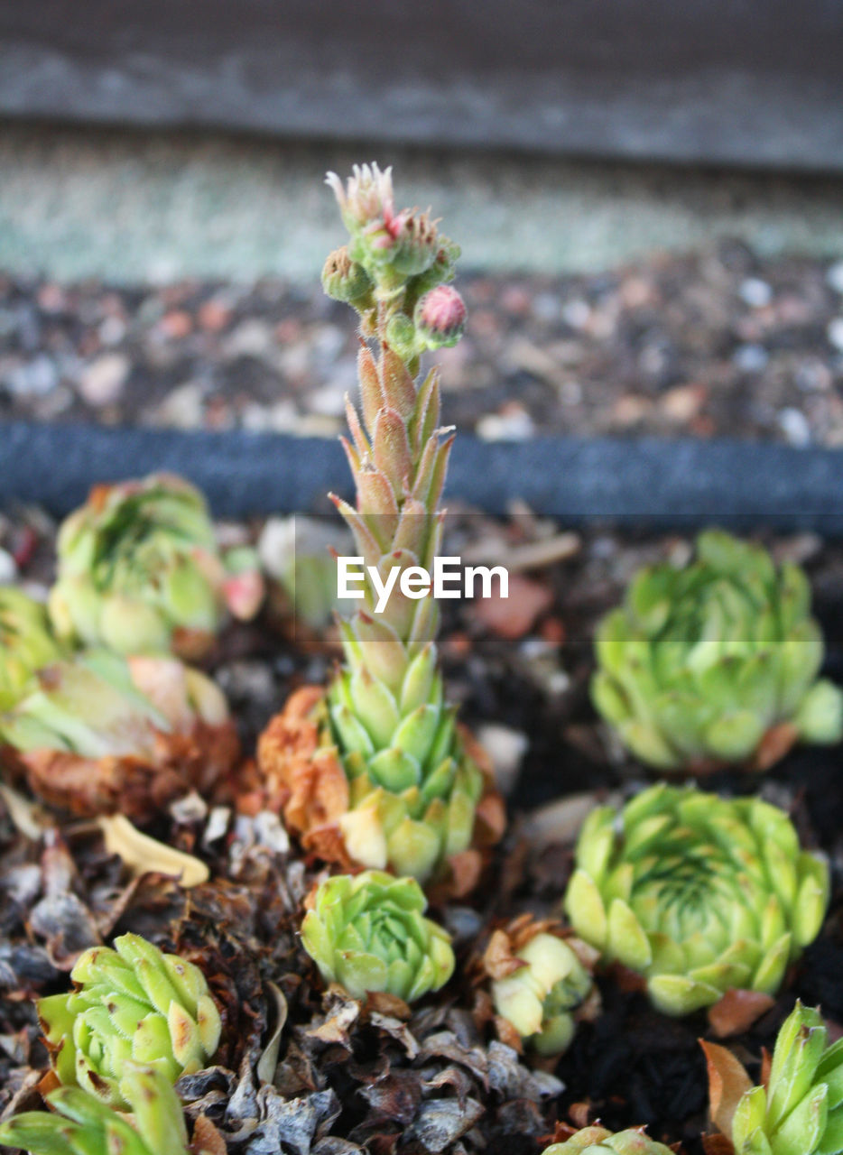 growth, plant, green color, no people, beauty in nature, nature, close-up, day, succulent plant, freshness, flower, beginnings, new life, focus on foreground, botany, outdoors, vulnerability, flowering plant, potted plant, fragility, flower head