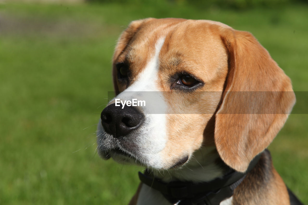 one animal, dog, canine, animal themes, domestic animals, domestic, pets, mammal, animal, vertebrate, close-up, animal body part, looking, focus on foreground, no people, animal head, looking away, day, brown, field, jack russell terrier, snout, animal eye, whisker