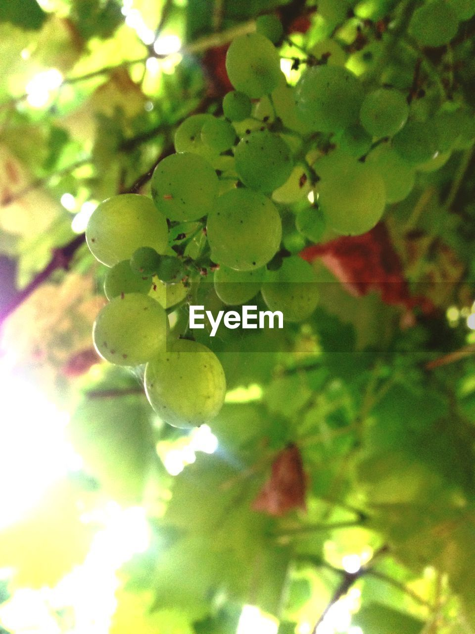 growth, fruit, nature, food and drink, tree, beauty in nature, day, no people, green color, close-up, outdoors, focus on foreground, leaf, freshness, plant, food