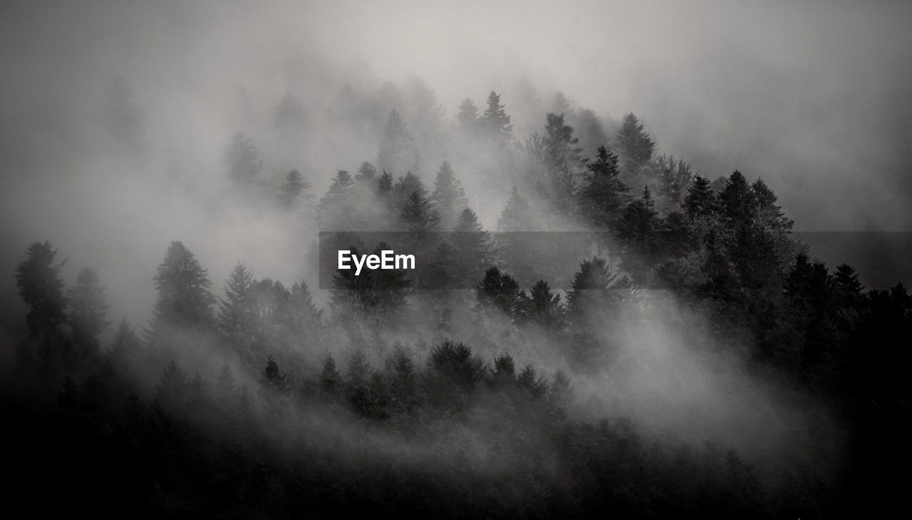 TREES IN FOREST AGAINST FOGGY WEATHER