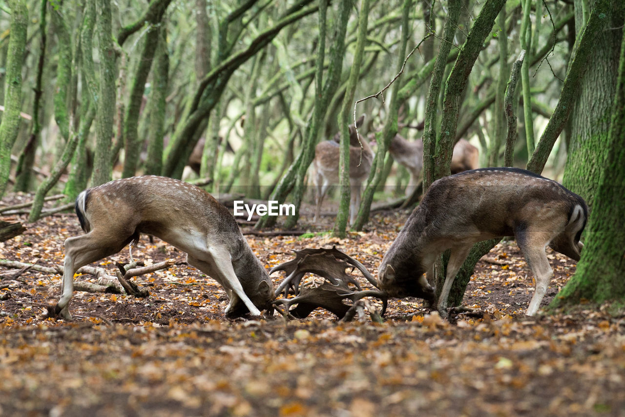 Fallow deer fighting in forest