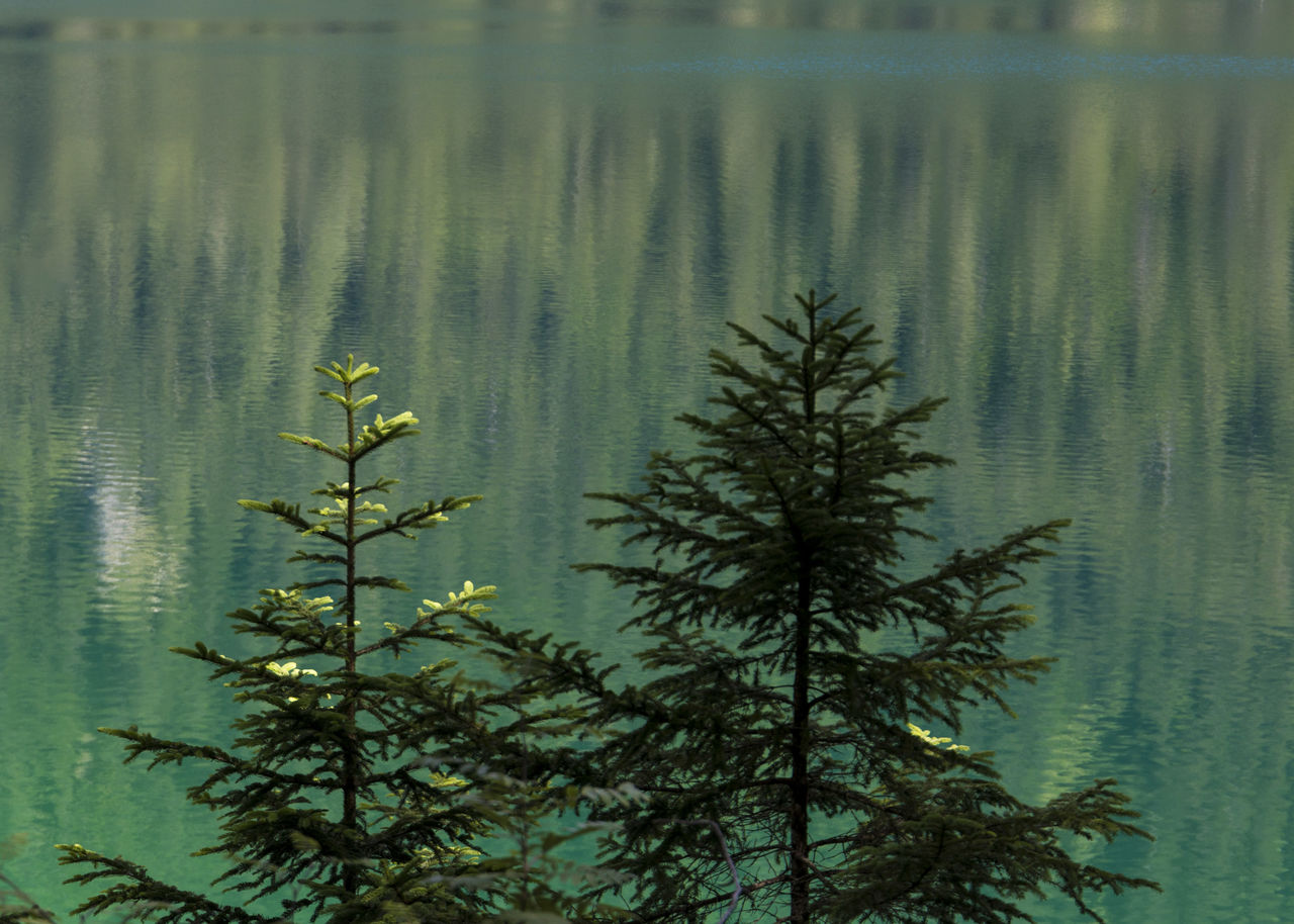 water, plant, nature, no people, growth, beauty in nature, lake, day, tranquility, leaf, reflection, outdoors, tree, focus on foreground, plant part, waterfront, flower, freshness, leaves, coniferous tree