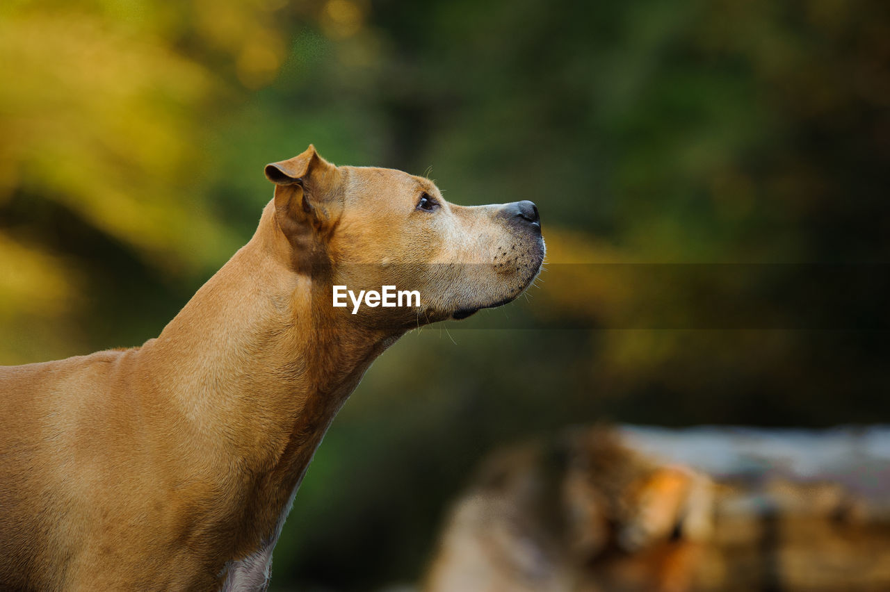 Profile View Of Brown Dog Looking Away