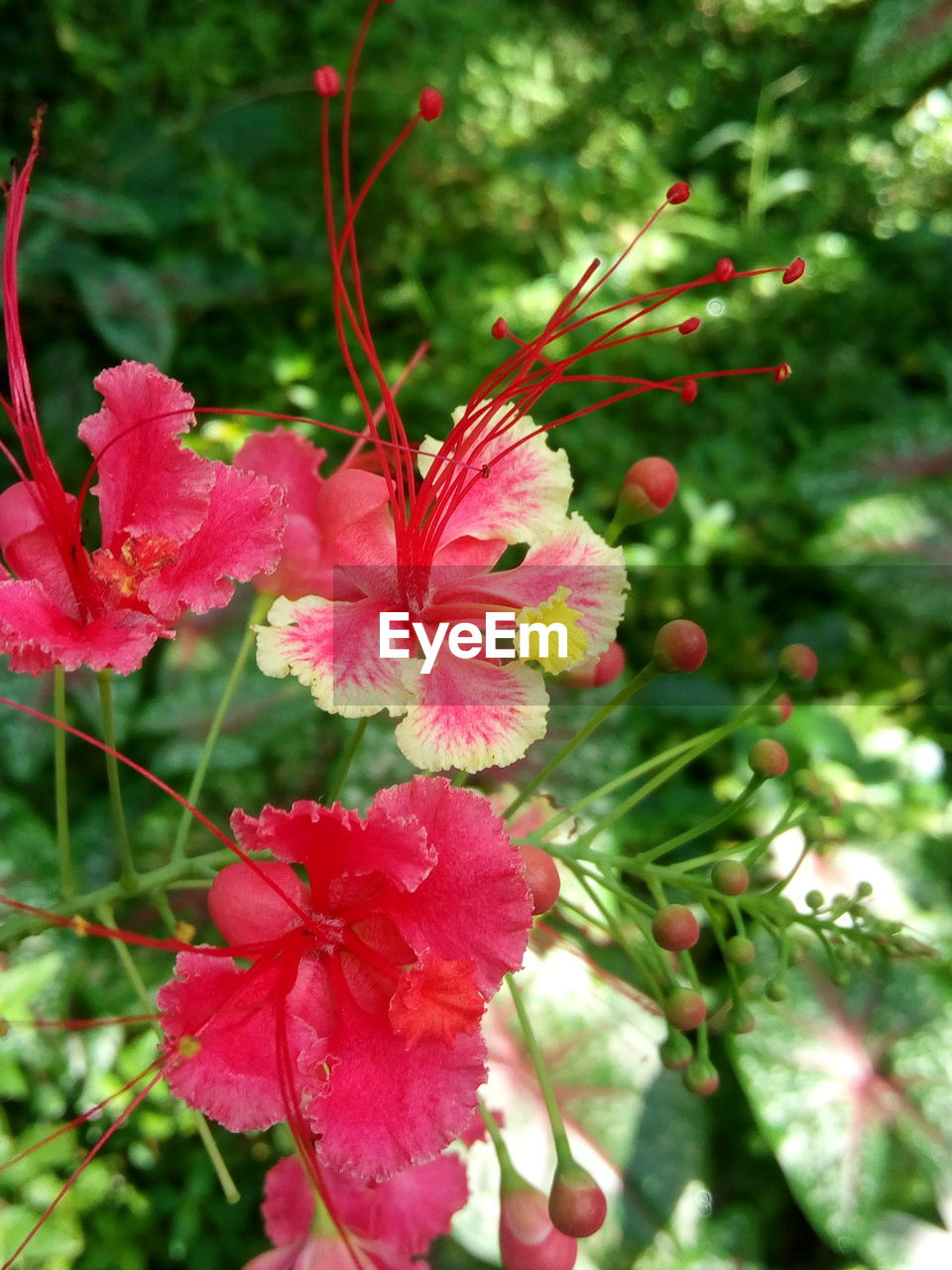 plant, flower, flowering plant, growth, freshness, beauty in nature, fragility, vulnerability, petal, close-up, red, day, pink color, flower head, inflorescence, no people, nature, focus on foreground, selective focus, outdoors, pollen