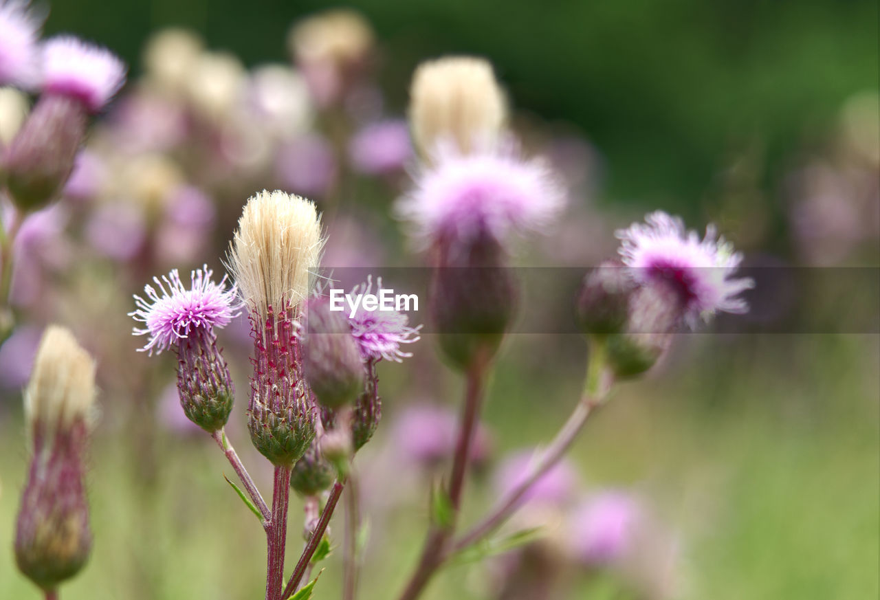flower, flowering plant, fragility, vulnerability, plant, beauty in nature, freshness, close-up, growth, flower head, focus on foreground, nature, selective focus, inflorescence, no people, petal, day, pink color, purple, field, springtime