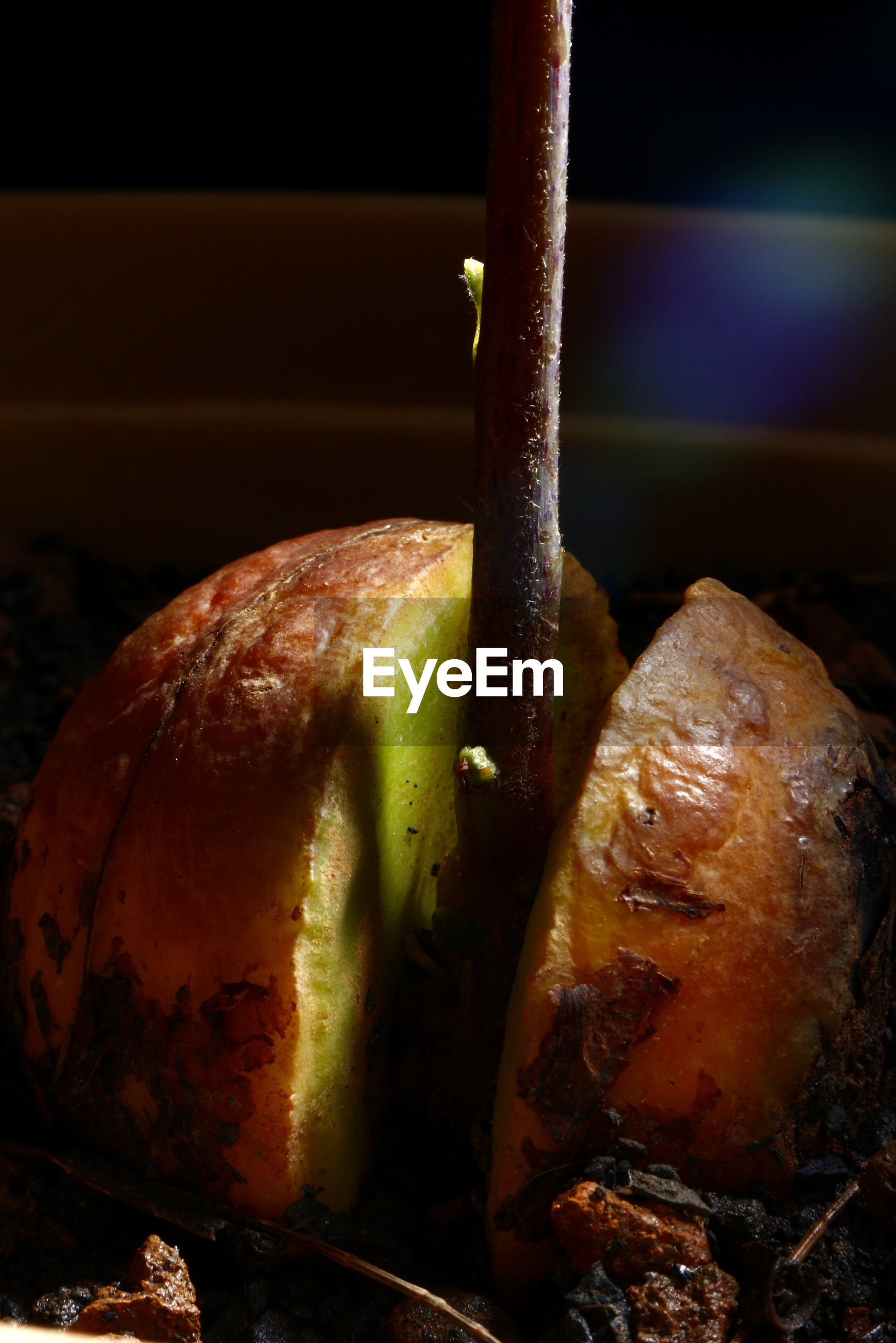 Close-up of rotten apple