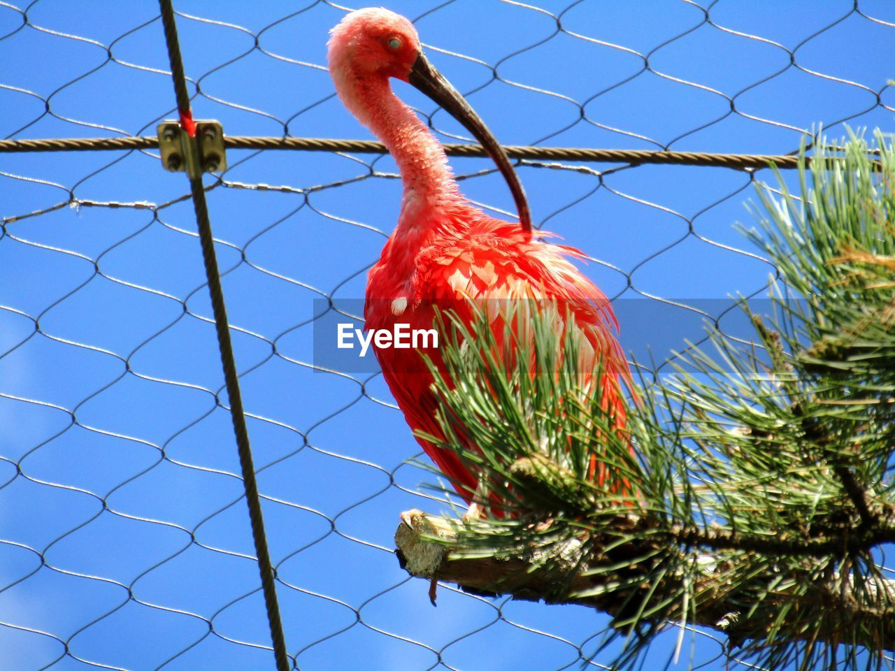 bird, animal themes, animal, vertebrate, one animal, nature, no people, red, animal wildlife, day, sky, animals in the wild, plant, low angle view, perching, tree, blue, fence, outdoors, clear sky