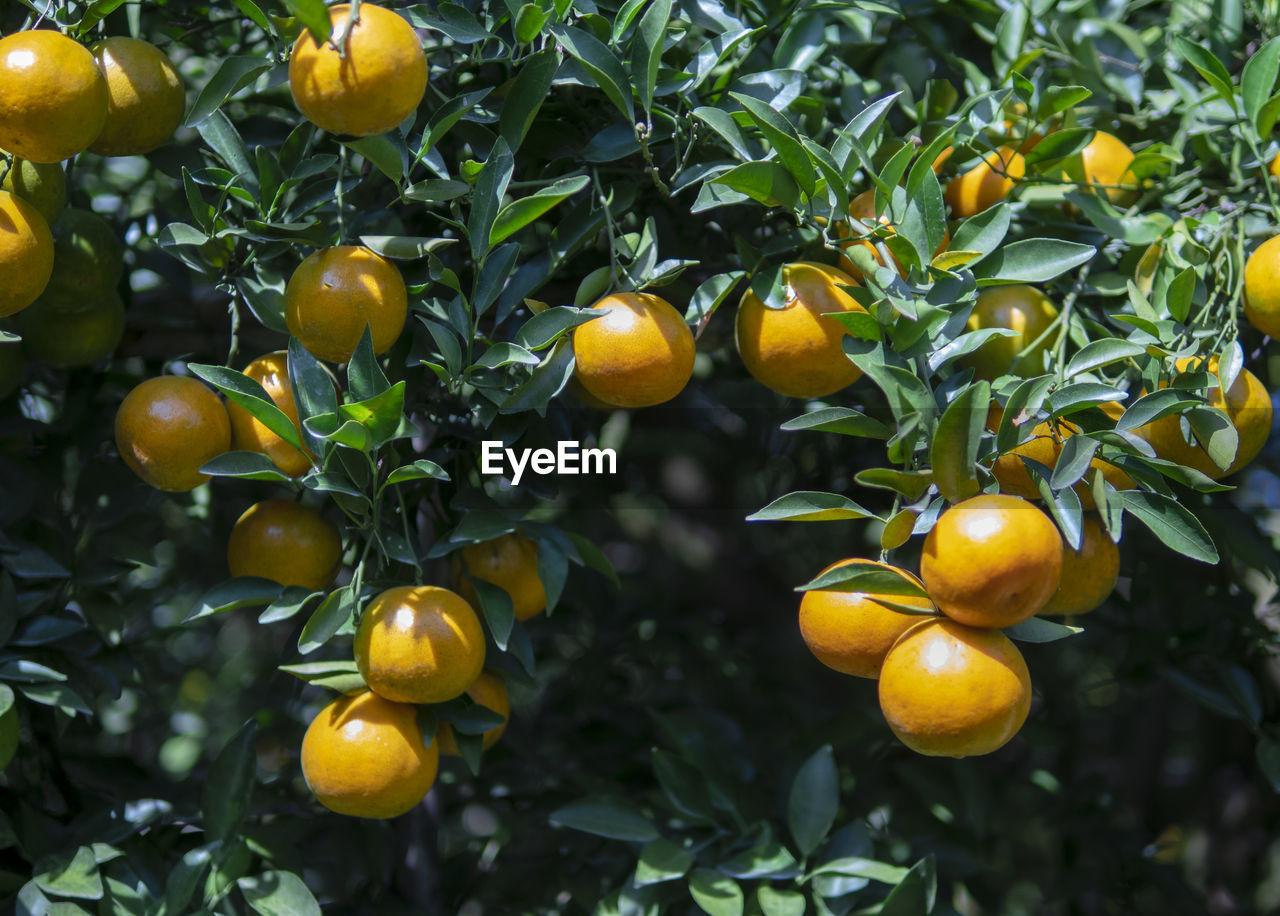 FRUITS ON TREE