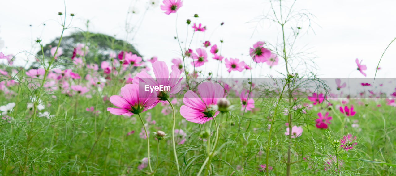flower, flowering plant, plant, fragility, vulnerability, freshness, beauty in nature, growth, pink color, petal, field, nature, land, close-up, inflorescence, no people, flower head, sky, cosmos flower, day, outdoors, springtime, purple