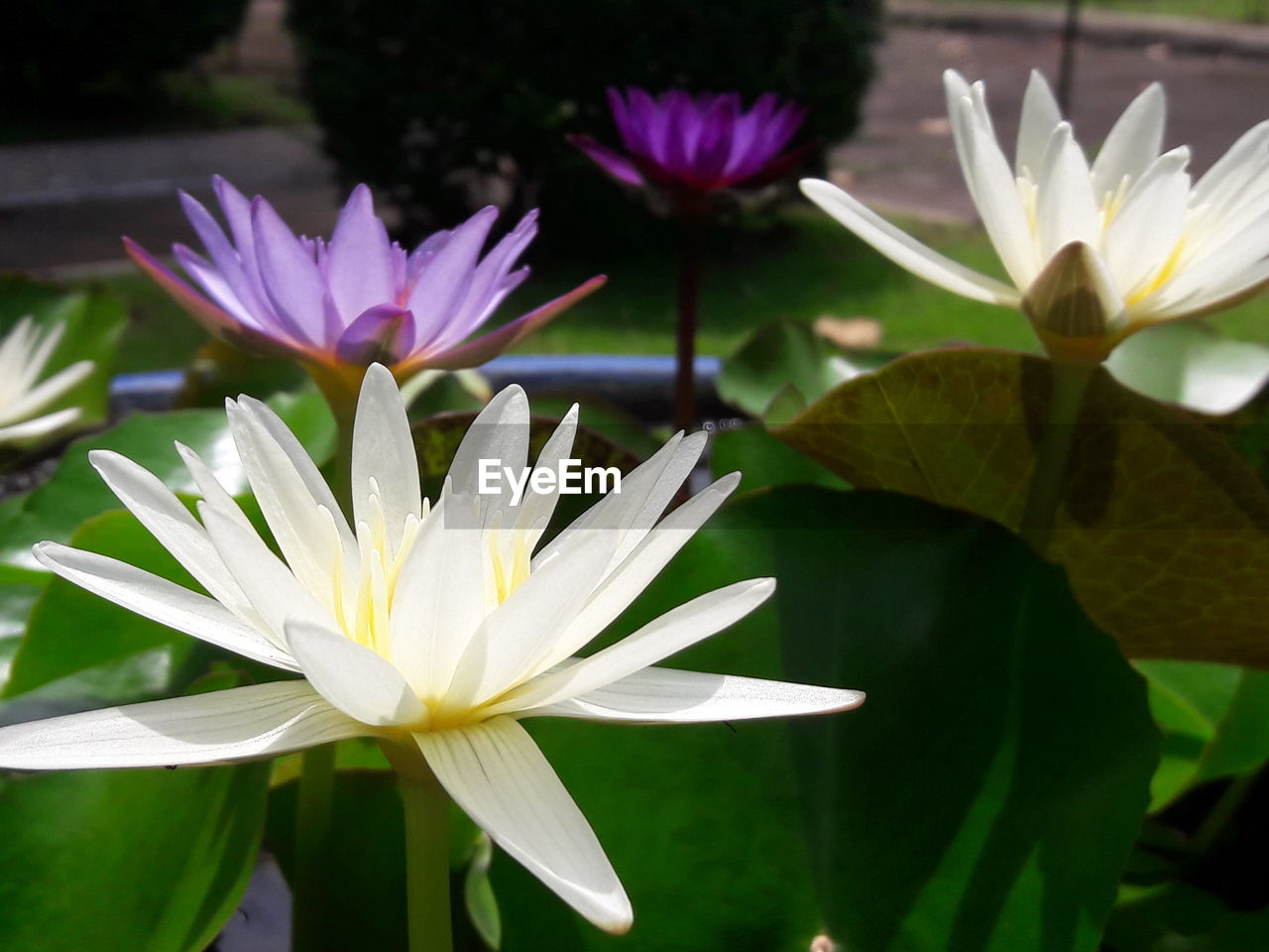 flower, petal, beauty in nature, nature, fragility, flower head, freshness, growth, water lily, plant, blooming, leaf, lotus water lily, no people, white color, day, outdoors, close-up, lotus, water, lily pad, crocus
