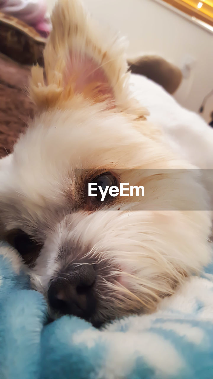 pets, one animal, domestic animals, mammal, animal themes, dog, white color, indoors, close-up, no people, lying down, day