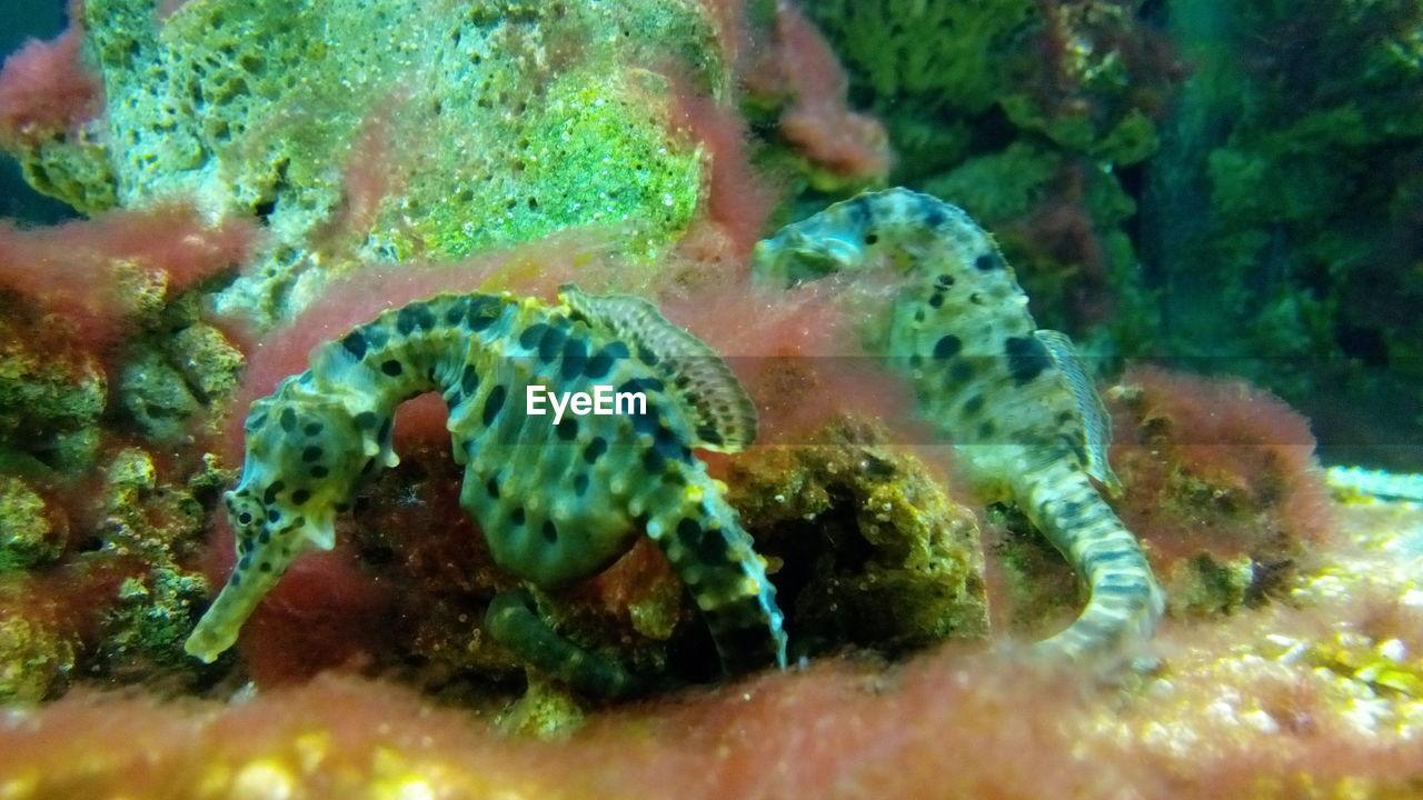 Close-Up Of Seahorse Swimming In Aquarium