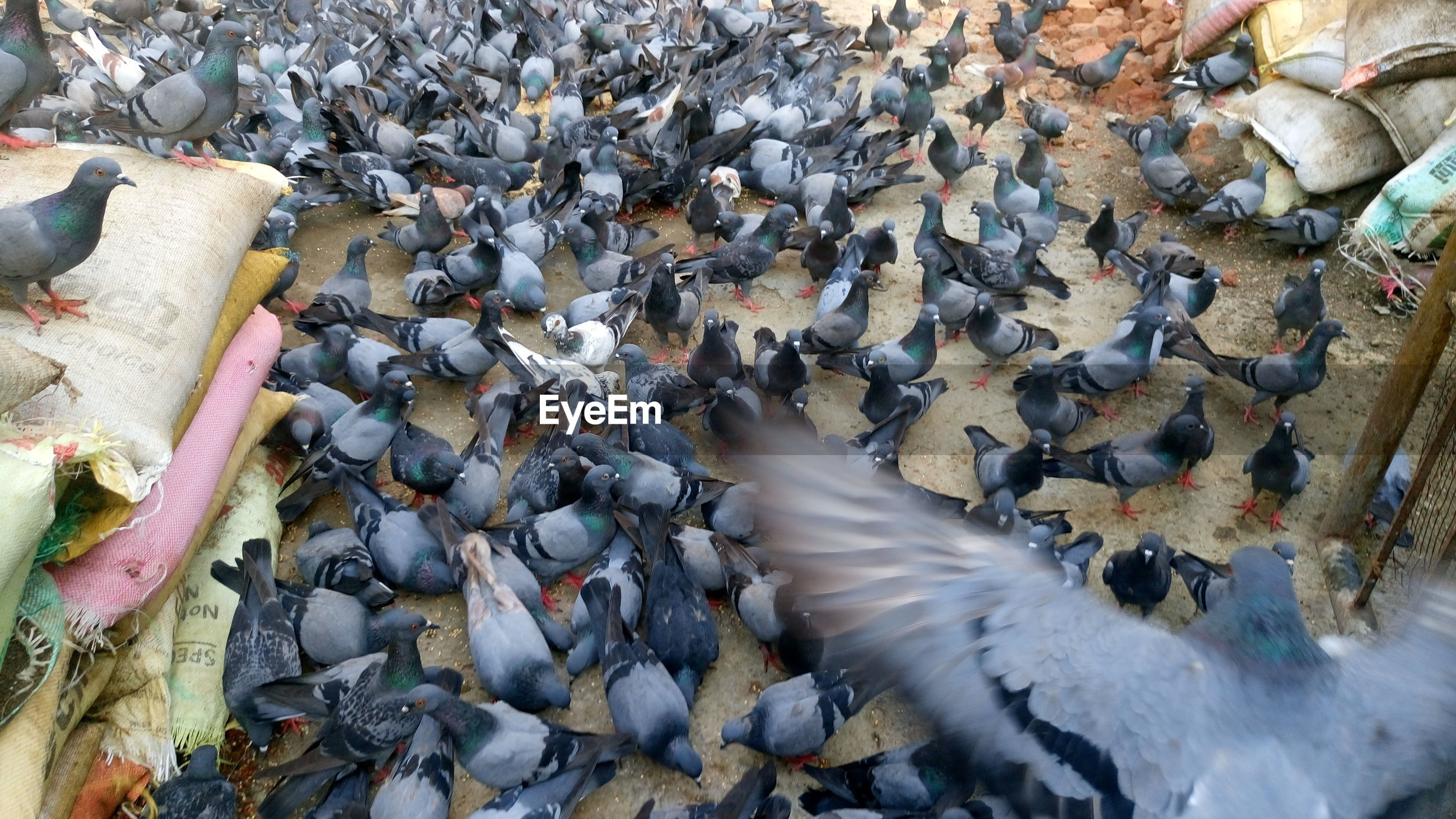 High angle view of pigeons