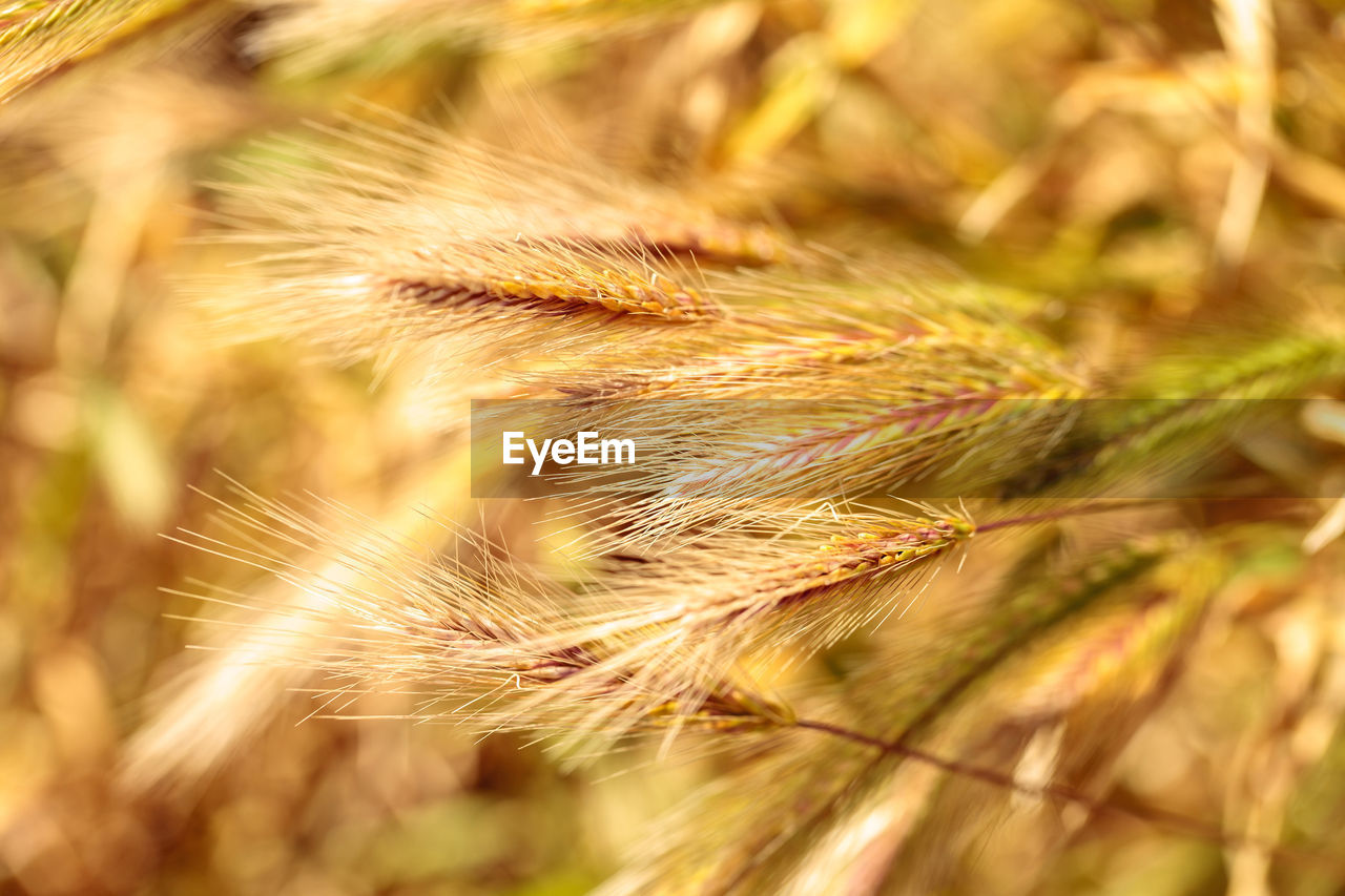 plant, growth, agriculture, close-up, selective focus, crop, nature, day, field, beauty in nature, cereal plant, no people, tranquility, land, focus on foreground, outdoors, farm, rural scene, sunlight, brown, stalk, timothy grass, plantation