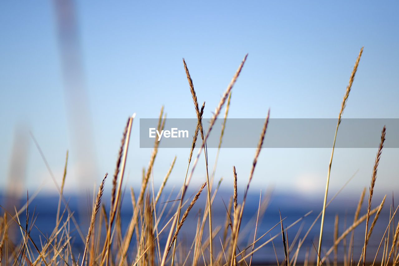 growth, plant, sky, tranquility, focus on foreground, nature, beauty in nature, no people, close-up, day, field, grass, land, outdoors, blue, selective focus, clear sky, agriculture, sunlight, crop, timothy grass, blade of grass, stalk