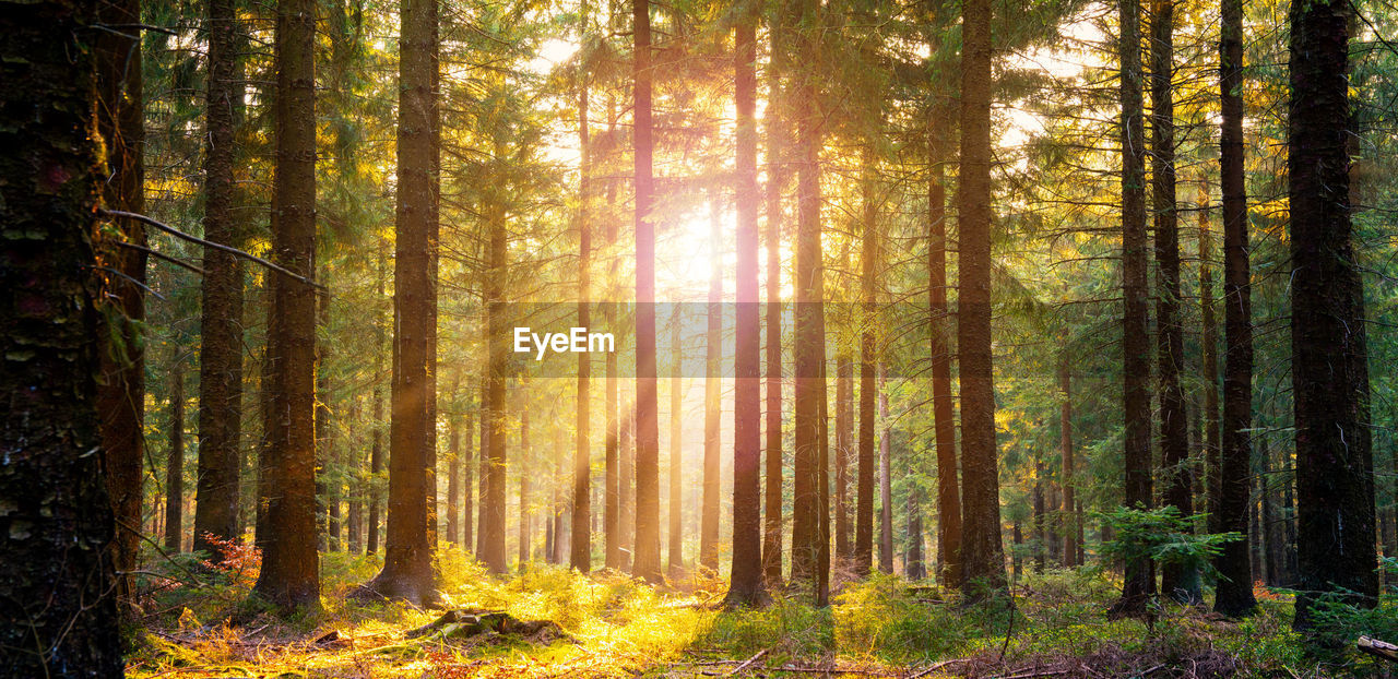 forest, tree, land, plant, woodland, beauty in nature, non-urban scene, tree trunk, sunlight, scenics - nature, trunk, sunbeam, tranquil scene, nature, tranquility, day, autumn, growth, landscape, environment, no people, pine tree, pine woodland, outdoors, coniferous tree, evergreen tree, streaming
