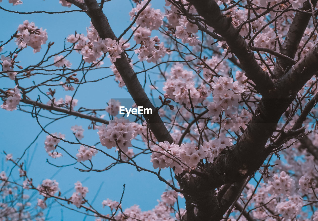 flower, tree, flowering plant, plant, blossom, low angle view, branch, fragility, vulnerability, springtime, beauty in nature, growth, pink color, freshness, cherry blossom, day, nature, no people, cherry tree, sky, outdoors, spring