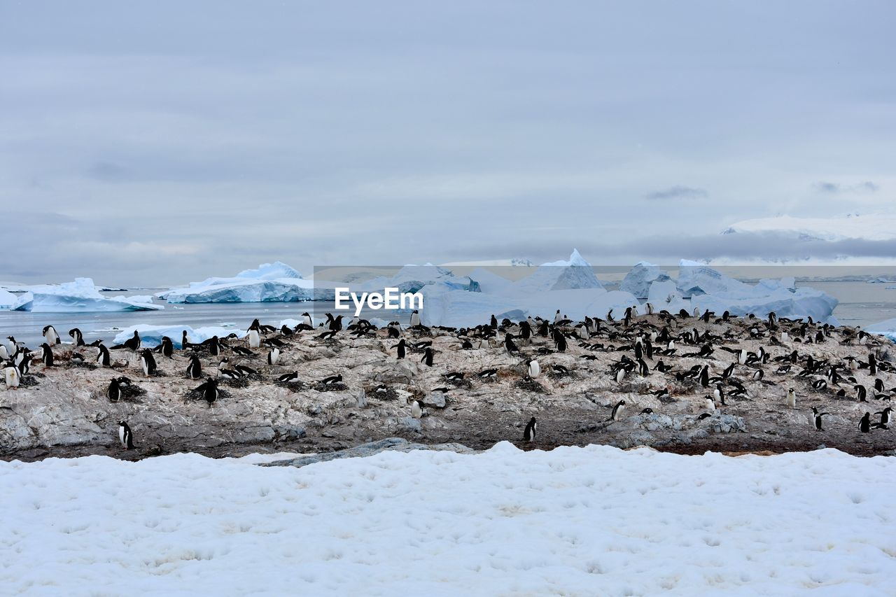 large group of animals, nature, beauty in nature, animal themes, sky, outdoors, no people, day, animals in the wild, flock of birds, water, sea, frozen, scenics, bird, winter, cold temperature, snow, mammal