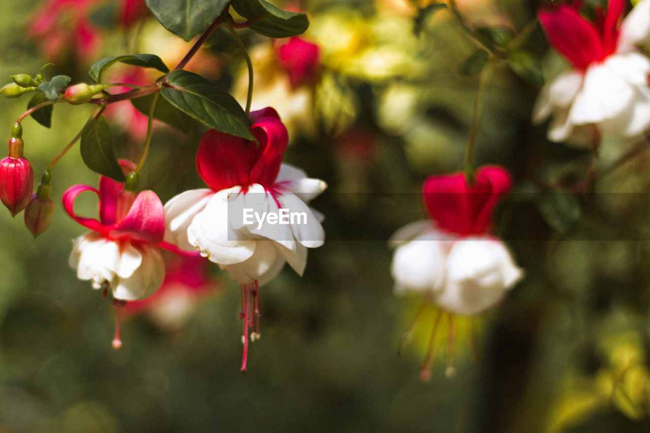 CLOSE-UP OF RED FLOWERS BLOOMING