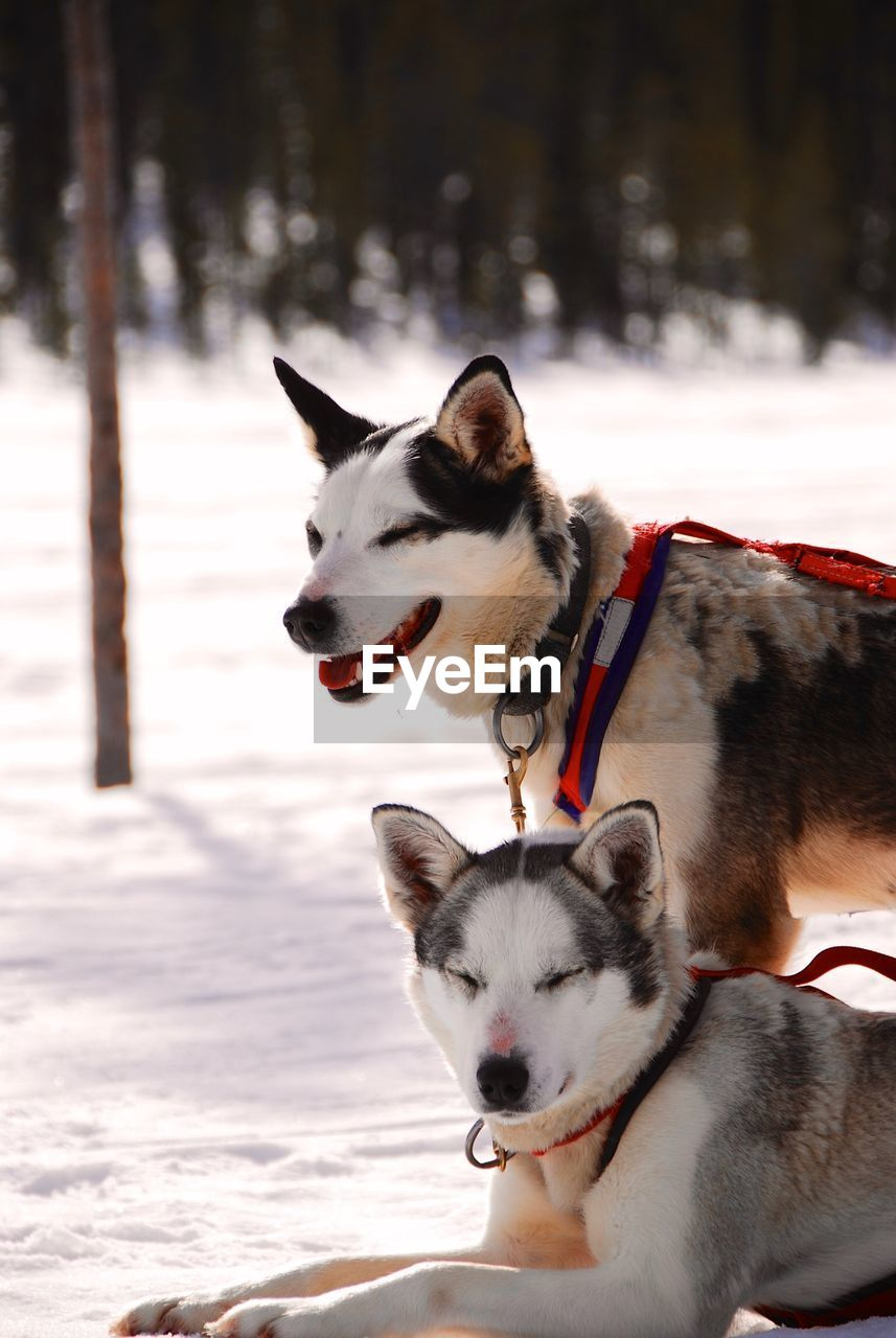 Siberian Huskies On Snow Covered Field During Winter
