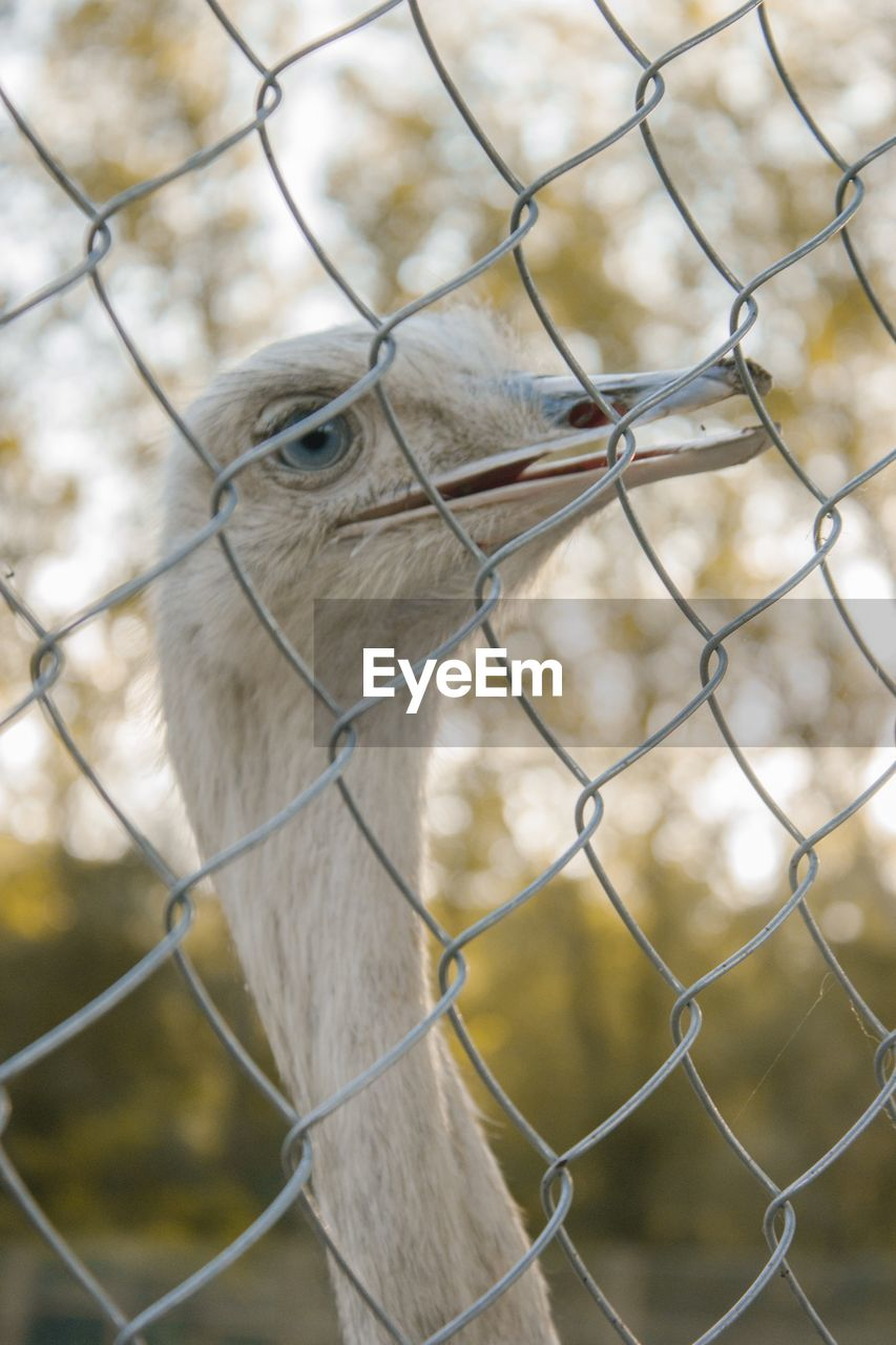 fence, boundary, animal, animal themes, barrier, one animal, chainlink fence, vertebrate, focus on foreground, protection, security, safety, close-up, animal wildlife, no people, animal body part, day, bird, animals in the wild, mammal, animal head, zoo, beak, outdoors, animal neck, herbivorous